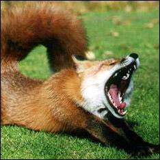 Хвора на сказ лисиця покусала собаку