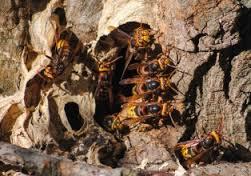 На Рівненщині рій шершнів до смерті закусав лісника