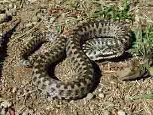 Змії стали агресивнішими
