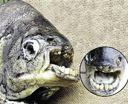 У Росії зловили рибу з людськими зубами
